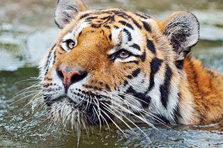 Tiger-photo-00001